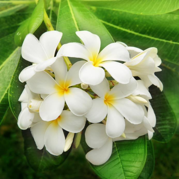huile essentielle de Jasmin - massage égyptien