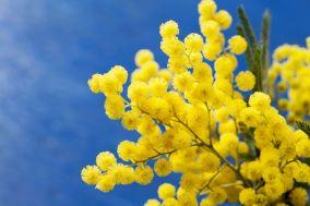 huile essentielle de mimosa - massage égyptien