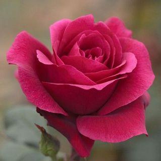 l'huile essentielle de rose - massage égyptien