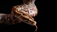 python - snake massage