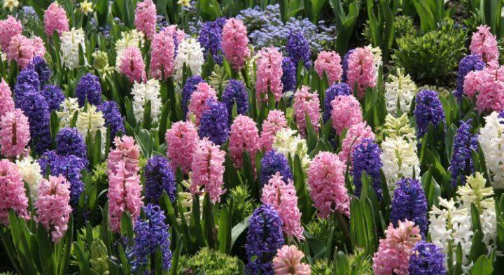 dire je t'aime en langage des fleurs - jacinthe - la promesse d'une fidélité absolue