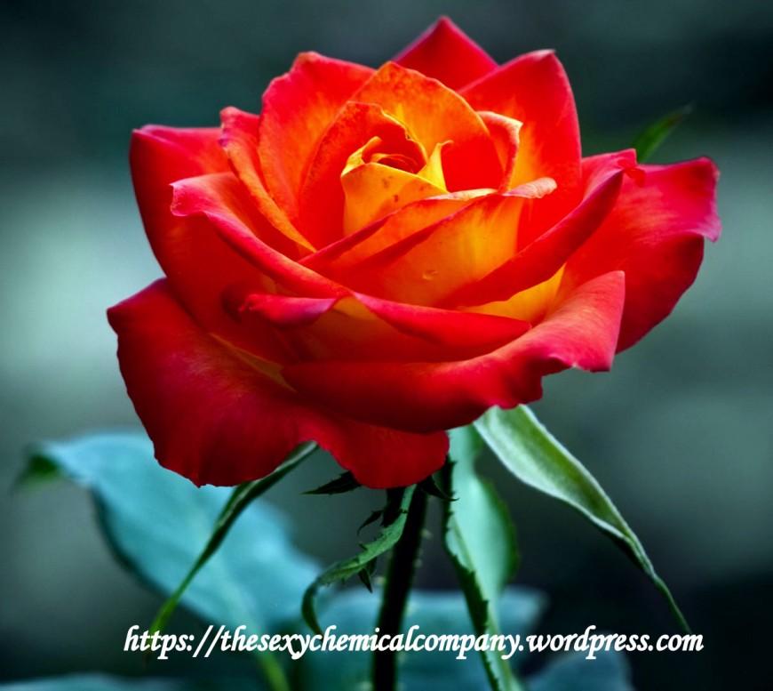 dire je t'aime en langage des fleurs
