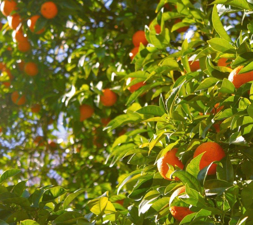 les 3 huiles essentielles de l'oranger
